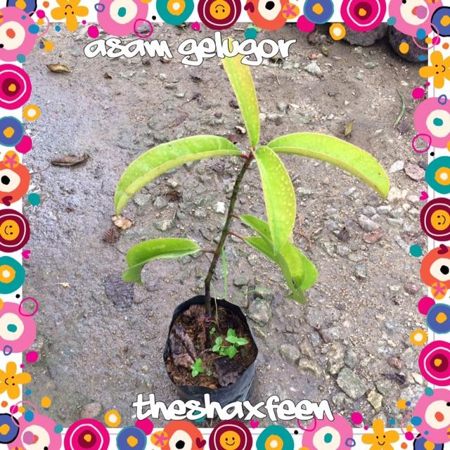 Anak pokok asam gelugor
